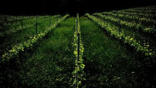 vigna e erba